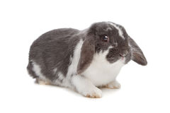 Angora rabbit Stock Photo