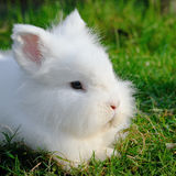 Angora rabbit Stock Photography