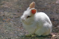 Cute white lionhead rabbit. With closed eyes stock image