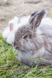 Angora rabbit eating a grass. The Angora rabbit is a variety of domestic rabbit bred for its long soft wool stock image