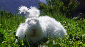 Angora Rabbit. Fluffy white angora rabbit and green grass background stock photography