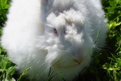 Angora Rabbit. Fluffy white angora rabbit and green grass background stock photo