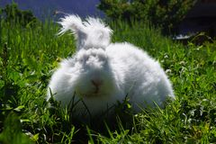 Angora Rabbit Stock Photos