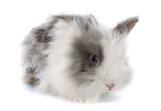 Angora rabbit. In front of white background royalty free stock images