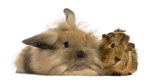 Angora rabbit and Guinea pig, isolated Royalty Free Stock Photography