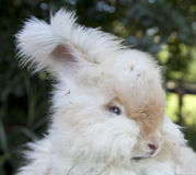 Angora Rabbit--Head. Head shot of a white Angora rabbit, showing its furry ears and face stock photos