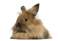 Angora rabbit, isolated Royalty Free Stock Photography