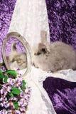 Angora Rabbit Looks into Mirror stock photography