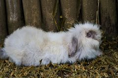 Angora Rabbit relaxed near the wooden fences. royalty free stock photography