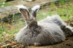 Angora rabbit resting after a meal Royalty Free Stock Photography