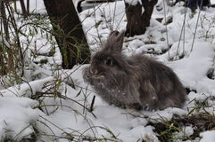 Angora rabbit in snow. Angora rabbit in the cold winter royalty free stock image