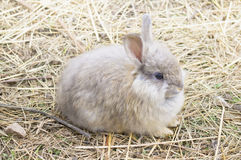 ANGORA RABBIT ON A STRAW. THE ANGORA RABBIT IS A VARIETY OF DOMESTIC RABBIT BRED FOR ITS LONG, SOFT WOOL royalty free stock image