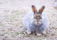 Angora rabbit on straw. THE ANGORA RABBIT IS A VARIETY OF DOMESTIC RABBIT BRED FOR ITS LONG, SOFT WOOL stock photo
