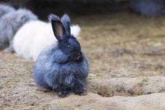 Angora rabbit on straw. The Angora rabbit is a variety of domestic rabbit bred for its long, soft wool royalty free stock photos