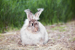 Angora rabbit on  straw Royalty Free Stock Photography