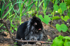 Angora rabbit with tongue out. Black angora rabbit with tongue out stock image