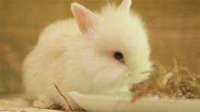 Angora rabbit stock video footage