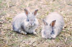 Angora rabbits on  straw Royalty Free Stock Photo