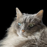 Angora Siberian male cat with odd eyes Royalty Free Stock Photography