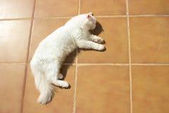 Angora turco Gato branco imagens de stock