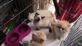 Angora turco y gatos persas en tienda del animal doméstico
