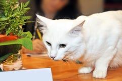 Angora white cat Royalty Free Stock Photography