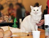 Angora white cat Stock Photo