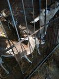 angoras Стоковая Фотография RF