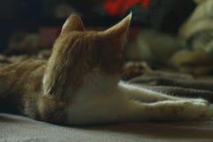 angoras Стоковое Фото