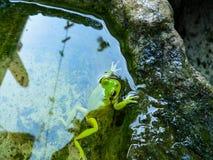 angoras amory Sarda Hyla Стоковая Фотография RF