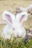 Angorscy króliki je trawy Obraz Stock