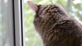 Angorski kot patrzeje out okno zbiory