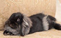 Angorski królik Obrazy Stock
