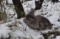 Angorski królik w śniegu Obraz Royalty Free