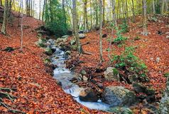 Angra do wirh de Autumn Beech Forest transversalmente no parque natural de Montseny imagem de stock
