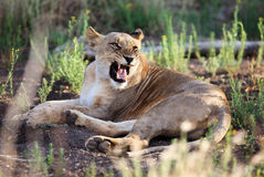 Angree lioness Royalty Free Stock Images