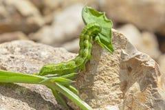 Angrenzendes Straw Moth Larva Chewing auf einem Blatt stockfotos