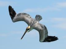 Angriff des Pelikans Stockbild