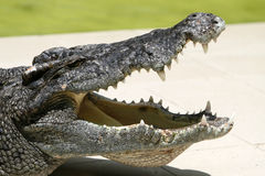 Angry. An angry crocodile in a park at Thailand Stock Images