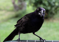 Angry. Beak flapping Grackle Stock Photography