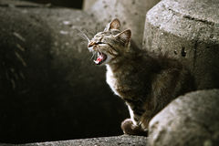 Angry adult stray cat snarling. Angry adult feral stray cat snarling while sitting on concrete structures Royalty Free Stock Image