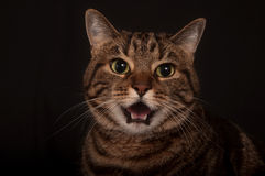 Angry adult tabby cat Royalty Free Stock Photo