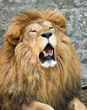 Angry African lion Stock Photo