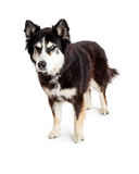 Angry Alaskan Malamute Mix Dog. A large Alaskan Malamute mixed breed dog standing with an angry scowl expression on his face. Image taken isolated on a white Stock Photo