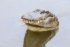 Free Angry American Alligator Sticking Its Head Out Of Water And Showing Its Teeth Stock Photos - 140296583