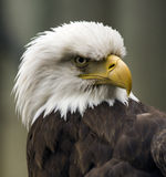 Angry American Eagle. Profile image of a angry American Bald Eagle Royalty Free Stock Photos