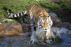 Angry Amur tiger, Panthera tigris altaica, beating paws into the water Stock Image