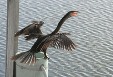 Angry Anhinga bird drying his wings Stock Image