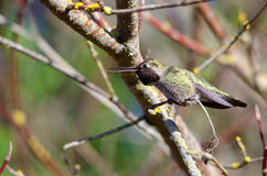 An angry Anna's hummingbird Stock Images