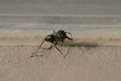 An Angry Ant about to attack Royalty Free Stock Photography